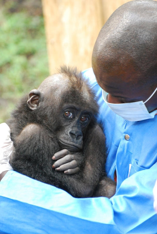 Wildlife Wednesdays: Orphaned Gorillas in Africa Under Watchful Care at Rehabilitation and Conservation Center Supported by Disney