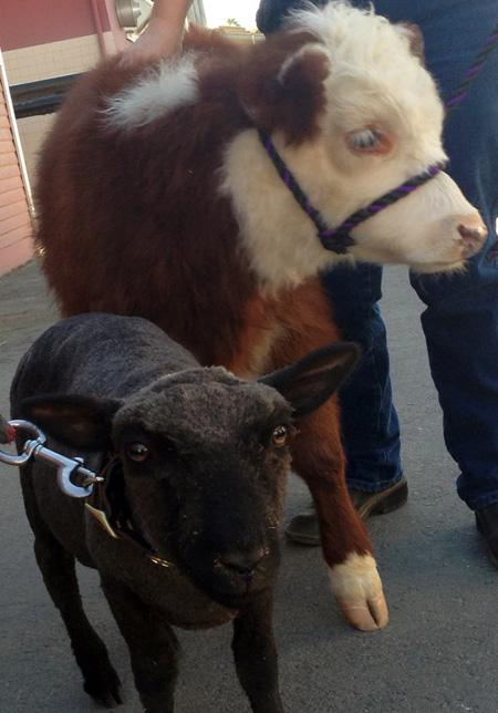 New Lamb and Calf Join Circle D Family at Disneyland Park
