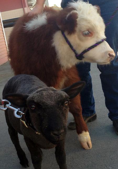 New Lamb and Calf Join Circle D Family at Disneyland Park