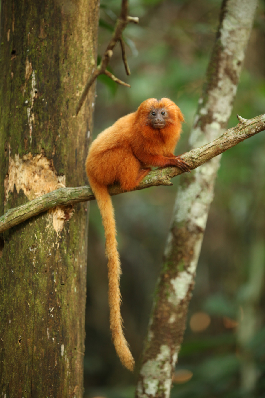 golden lion tamerin The golden-headed lion tamarin (leontopithecus chrysomelas), also the golden-headed tamarin, is a lion tamarin endemic to brazil it is found only in the lowland and.
