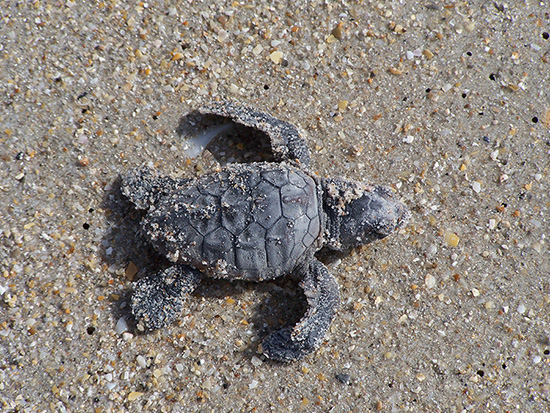 Endangered Baby Sea Turtles- Featured on the New Rafiki's Planet Watch Film