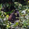Exploring Costa Rica with Adventures by Disney – Howler Monkey