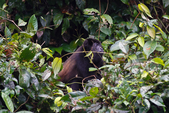 Exploring Costa Rica with Adventures by Disney - Howler Monkey