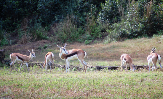 New Antelope Species, the Springbok, on Kilimanjaro Safaris Savanna at Disneys Animal Kingdom at Walt Disney World Resort