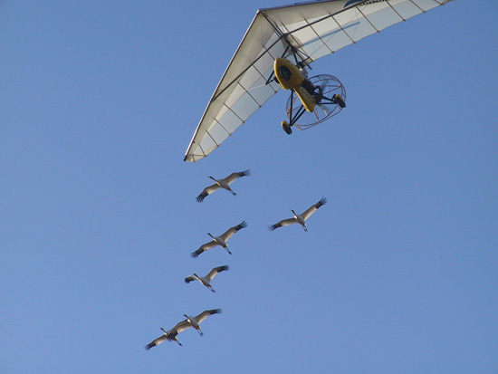 Operation Migration Uses Ultralight Aircraft to Guide Hand-Reared Whooping Cranes on Their First Migration