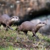Wildlife Wednesdays: Training Equals Great Care for Otters at Disney's Animal Kingdom