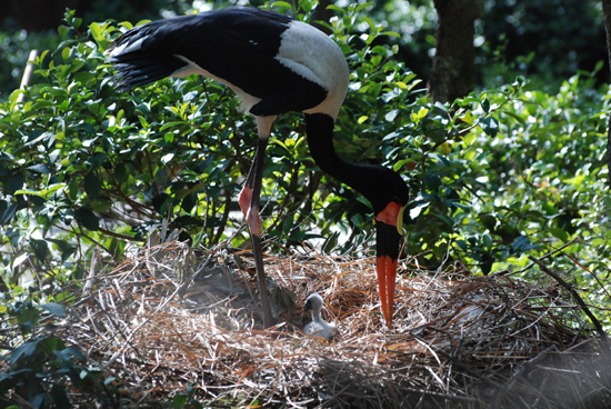 Wildlife Wednesdays: Saddle-Billed Stork Has First Chick; White-Cheeked Gibbon Expands Family with New Addition at Disneys Animal Kingdom