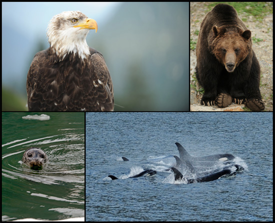 Explore Alaskas Wildlife with Disney Cruise Line