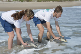 Wildlife Wednesdays: Rescued Sea Turtles, Cared for at The Seas with Nemo & Friends, Return to the Sea