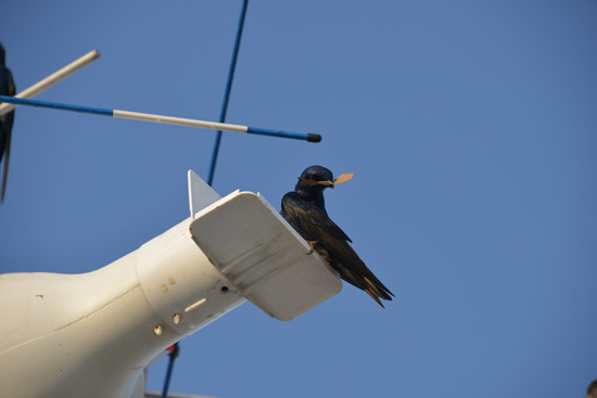Wildlife Wednesdays: Purple Martins, Migratory Songbirds, Are Walt Disney World Resort Guests Each Year