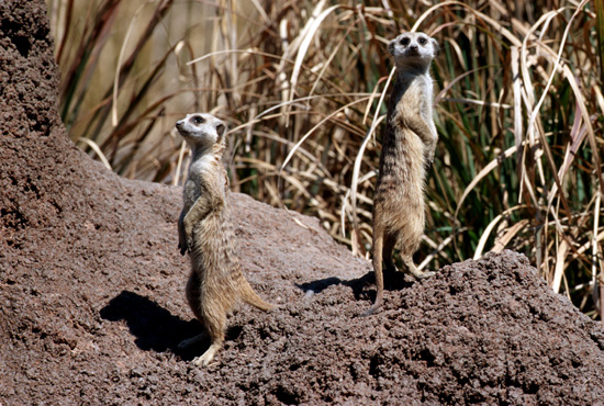 Caption This: Meerkats at Disney's Animal Kingdom