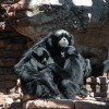 Disney Parks Blog Author Matt Hohne Showcased the Story of a Father Siamang and His Twins