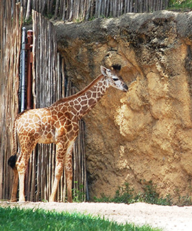 Mosi, the First Masai Giraffe Born at Disney's Animal Kingdom