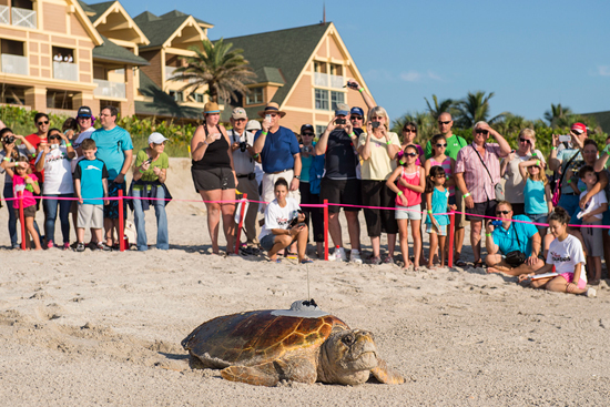 Sea Turtles, Facing Monstrous Challenges, Return to the Sea Cheered On by Disney's Vero Beach Resort Guests
