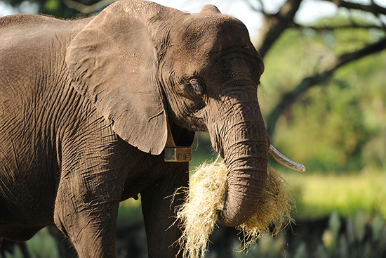 Elephants Eat Their Fruits and Veggies, and a Whole Lot More!