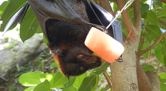 Wildlife Wednesdays: Halloween Celebration at Disney's Animal Kingdom Helps to Keep Bats 'Hanging Around'