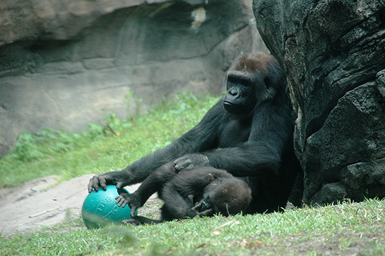 Azizi, A New Female Gorilla Who Recently Joined the Disney's Animal Kingdom Family