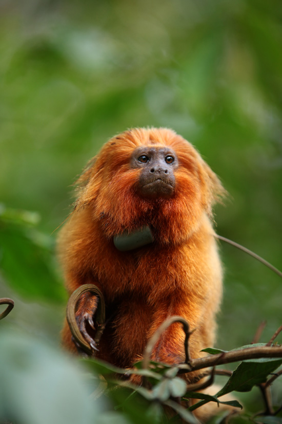 A Golden Lion Tamarin, Like the Ones Guests Can See at Disney's Animal Kingdom