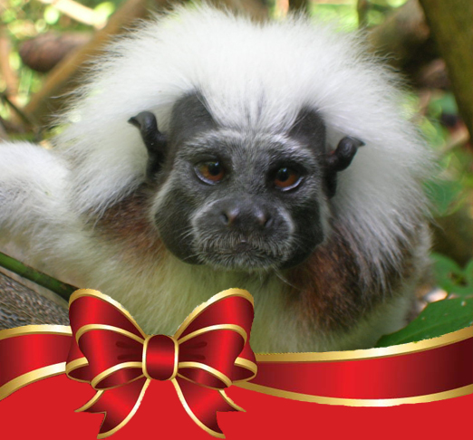 Wildlife Wednesdays: Endangered Cotton-Top Tamarins Receive Gift of Protected Forest