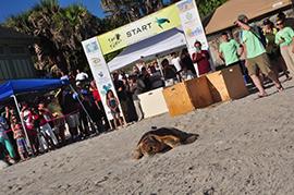 Wildlife Wednesday: On Your Mark, Get Set… Let Them Go! – Sea Turtles Set Off On Migratory Journey