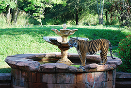 Wildlife Wednesday: One of These Is Not Like the Other – Welcome a Sumatran Tiger to Disney's Animal Kingdom!