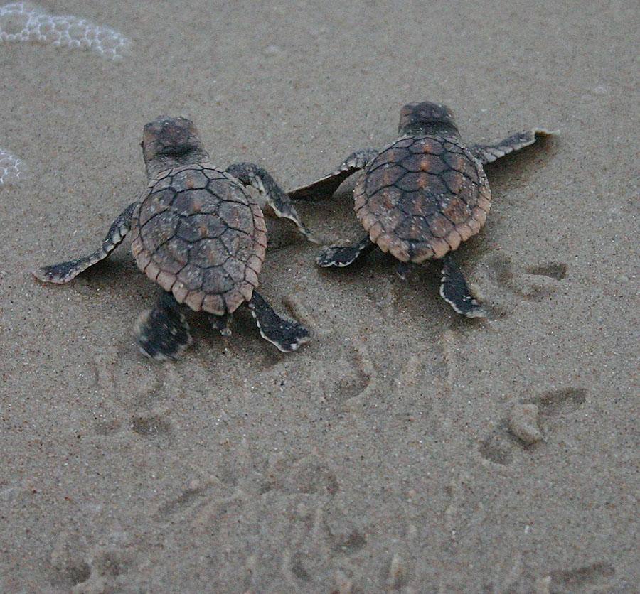 Wildlife Wednesday: Baby Sea Turtles Hatch from Anna & Elsa?s Nests ...