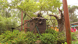 Cotton-top Tamarin Exhibit at Disney's Animal Kingdom