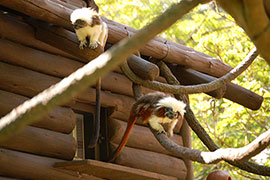Wildlife Wednesday: Cotton-top Tamarins Explore Their New Home at Disney's Animal Kingdom