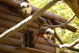 Wildlife Wednesday: Cotton-top Tamarins Explore Their New Home at Disney's Animal Kingdom