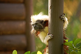 Cotton-top Tamarin Gemma at Disney's Animal Kingdom