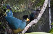 Great Blue Turacos Nest in the African Aviary at Disney's Animal Kingdom