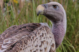 Visit Ruppell's Griffon Vulture at Disney's Animal Kingdom Lodge