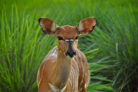 Visit the Nyala at Disney's Animal Kingdom Lodge