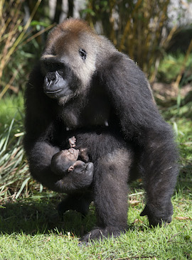 Western Lowland Gorilla Baby #1 and Mom