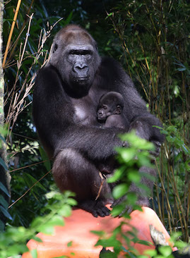 Western Lowland Gorilla Baby #2 with Mom. Look For the Entire Family Group on the Pangani Forest Exploration Trail at Disney's Animal Kingdom