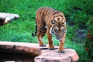 Tigers Can be Found on Maharajah Jungle Trek