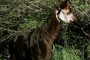 Look for Okapi on Pangani Forest Exploration Trail