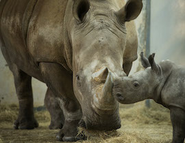 Disney's Animal Kingdom Welcomes White Rhino Calf to the Herd