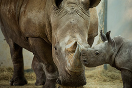 Disney's Animal Kingdom Welcomes White Rhino Calf to the Herd!