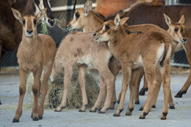 Disney's Animal Kingdom Welcomes 5 Sable Antelope Calves to the Herd!