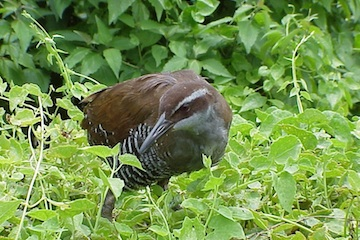 A Guam Rail in the Wild
