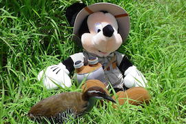 A Guam Rail Posing with Safari Mickey