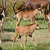 5 Sable Antelope Calves Now on Kilimanjaro Safaris at Disney's Animal Kingdom
