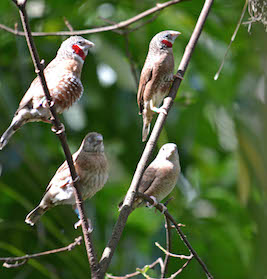 Male Cut-Throat Finches have a Red Marking on Their Throat, While Females Do Not