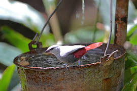 Keep Your Eyes Open for Lavender Waxbills in the Africa Aviary Down Pangani Forest Exploration Trail