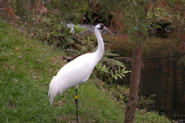 Whooping Cranes Migrate to Florida Every Year