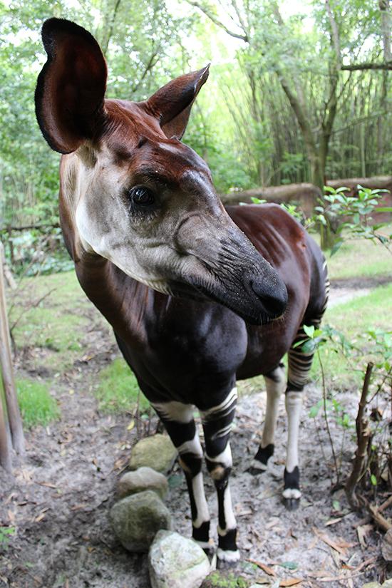 okapi-full