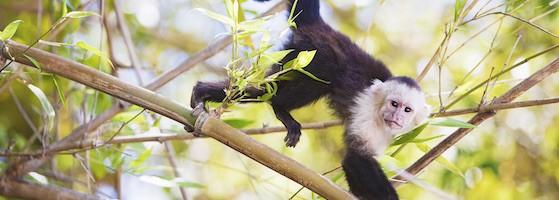 White-Faced Capuchin, Guanacaste, Costa Rica