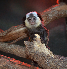 New Baby Marmoset at Disney's Animal Kingdom